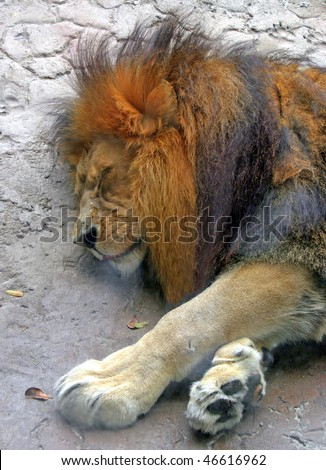 A sleeping lion head and paws shot.