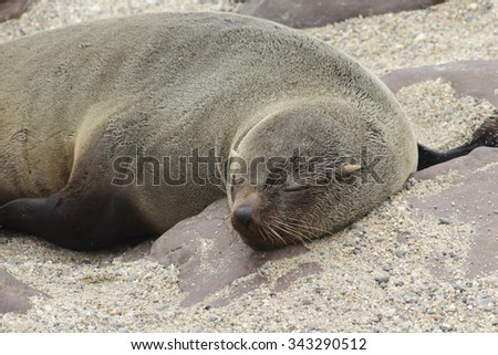 A sleeping south african fur seal - stock photo