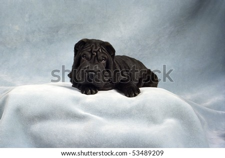 A sleepy black Sharpei puppy, ready for her nap, rests on a plush blue backdrop. - stock photo