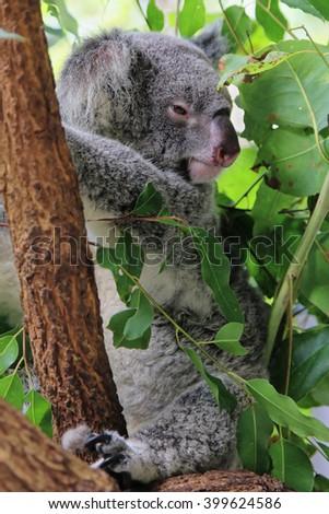 a sleepy koala in a gum tree in Cairns Australia - stock photo