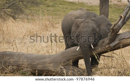A sleepy-looking, baby African elephant uses a fallen tree as a scratching post in Tarangire National Park, Tanzania. - stock photo