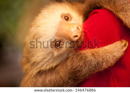 A sloth at  an animal shelter in Costa Rica - stock photo