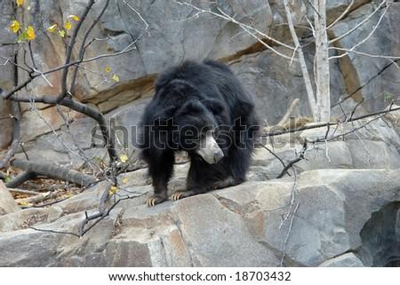 A sloth bear - stock photo