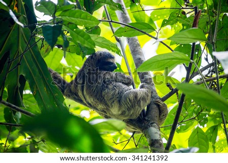 a sloth hanging in tree - stock photo