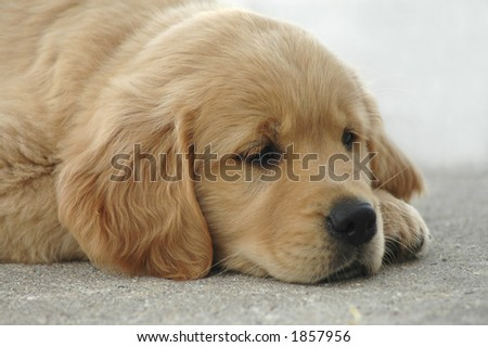 A slumbering golden retriever puppy. - stock photo
