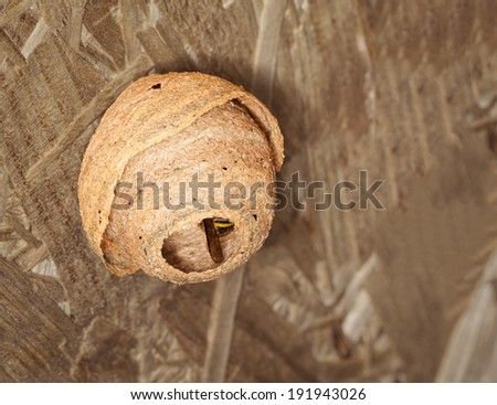 A small active wasp nest hanging - stock photo