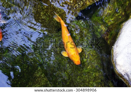 Ornamental fish stock photos images pictures for Artificial fish pond