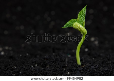 A small bean plant growing.