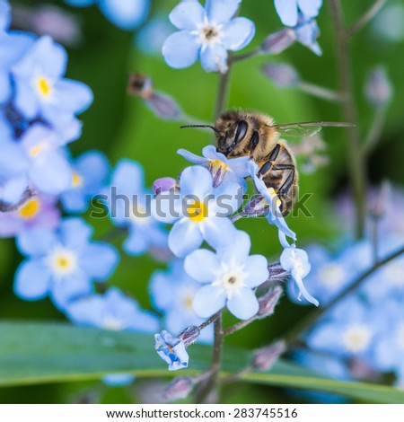 A small bee collects pollen from some forget me not blooms. - stock photo