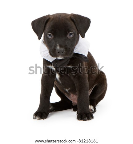 A small black Labrador Retriever mix puppy wearing a black bowtie. Isolated on white.