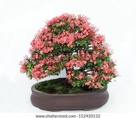 A small bonsai tree in a ceramic pot. Cascade style,isolated on a - stock photo
