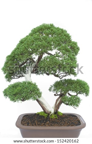 A small bonsai tree in a ceramic pot. Cascade style,isolated on a