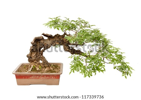 A small bonsai tree in a ceramic pot. Cascade style,isolated on a white background. - stock photo