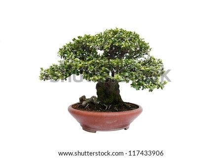 A small bonsai tree in a ceramic pot. Informal upright style,isolated on a white background.