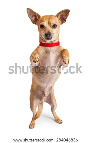 A small Chihuahua crossbreed dog wearing a red collar standing with paws up - stock photo