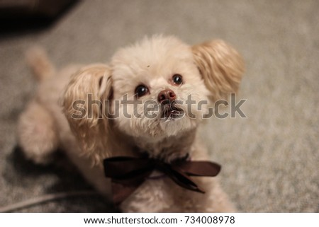 Most Inspiring Fluffy Brown Adorable Dog - stock-photo-a-small-cream-colored-french-toy-poodle-lays-in-her-new-dog-haircut-while-wearing-a-brown-bowtie-734008978  Collection_20452  .jpg
