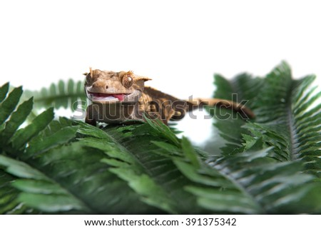 A small Crested gecko has a funny face with his tongue out, shot against a white background with room for text