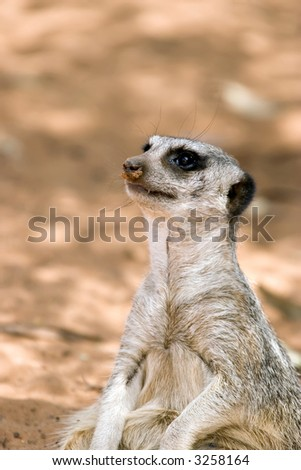a small cute meerkat sits and looks up to the left