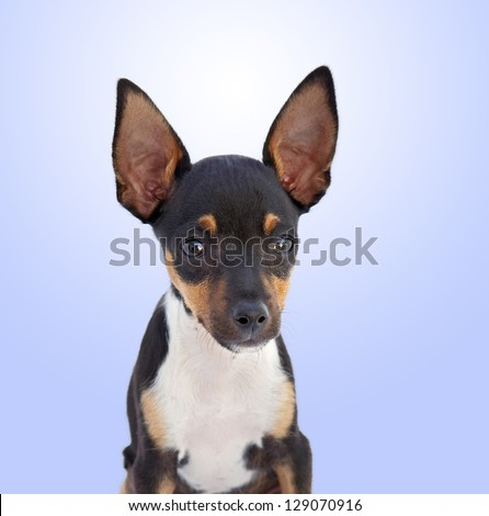 A small dog Chihuahua isolated on a over blue background - stock photo