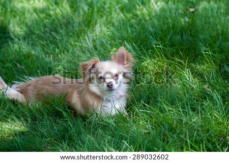 A small dog lies in shady, dark green grass - stock photo