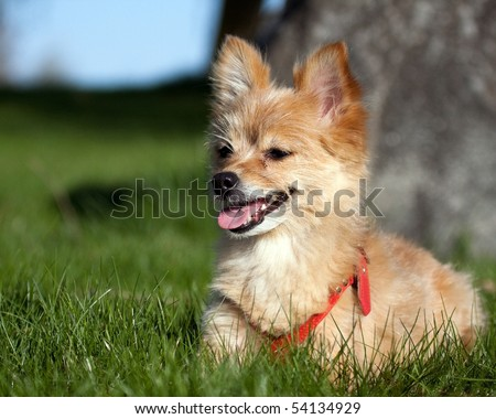 A small dog lying in the grass. - stock photo