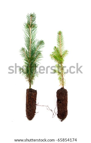 A small evergreen tree in soil, over a white background - stock photo