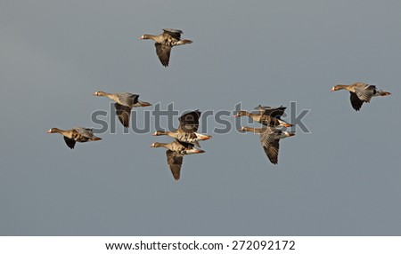 A small flock of greater white-fronted geese fly into the afternoon sunlight against a dark cloudy sky. - stock photo
