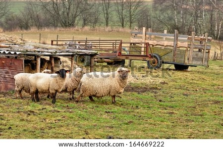A small flock of sheep grazing on small farmers - stock photo