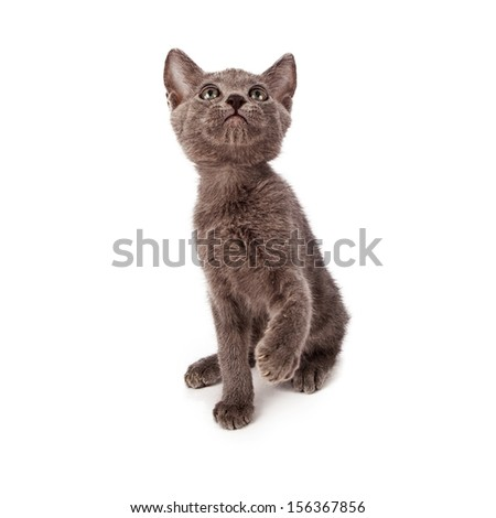 A small gray playful eight week old kitten sitting on a white background and raising a paw while getting ready to bat at a toy - stock photo