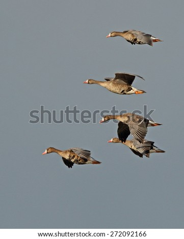 A small group of greater white-fronted geese glide through the sun against a dark cloudy sky. - stock photo
