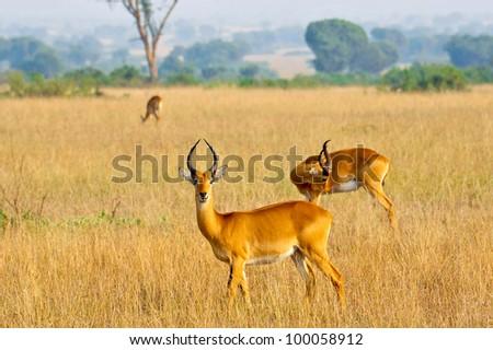 A small group of Ugandan Kobs in Queen Elizabeth National Park, Uganda - stock photo