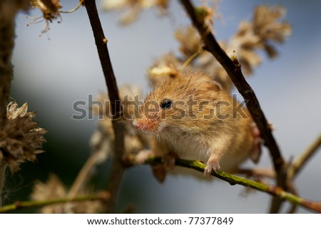 A small harvest mouse - stock photo