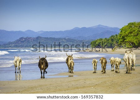 A small herd of cows walk along a beach in Costa Rica. - stock photo
