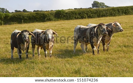 A small herd of English Long horned Cattle in a field,