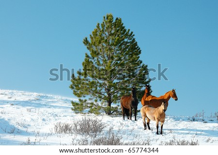 A small herd of horses huddle near an evergreen tree in the middle of winter. - stock photo