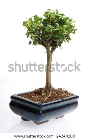 A small japanese bonsai tree in a pot isolated on white with copy space - stock photo