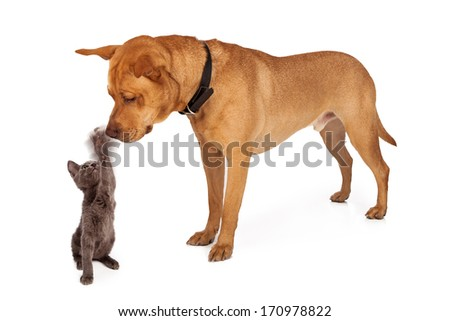 A small kitten batting her paw at the nose of a large patient Labrador Retriever crossbreed dog