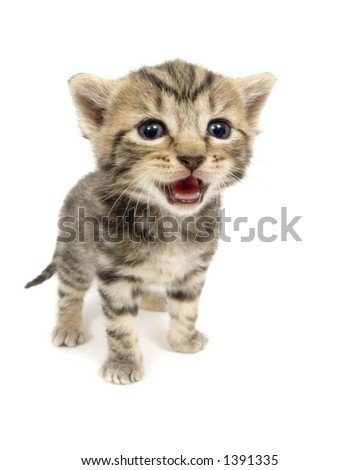 A small kitten lets out a cry while standing in front of a ball of red yarn on white background. This kitten is one of several being raised on a farm in central Illinois. - stock photo
