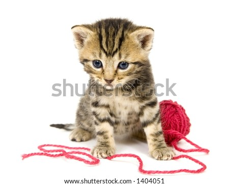 A small kitten sits next to a ball of red yarn on a white background. These kittens are being raised on a farm in central Illinois - stock photo