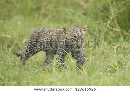 A small Leopard cub walks through grass in Tanzania's Serengeti National Park - stock photo