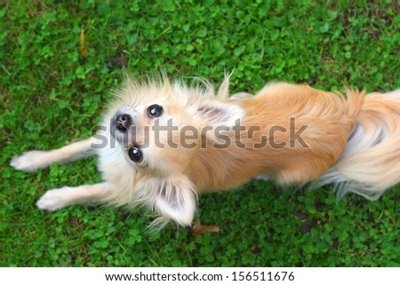 A small longhair chihuahua looking up at the camera while lying in the grass - stock photo