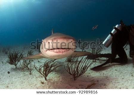 A small nurse shark swimming over the white sands of the Bahamas - stock photo