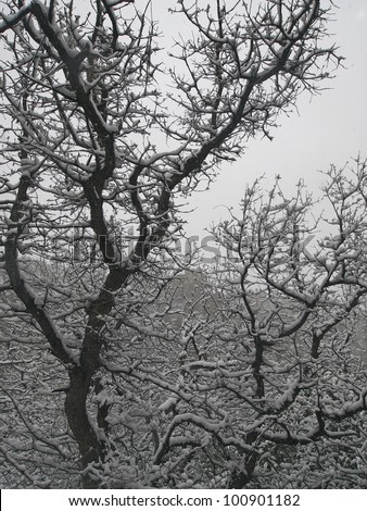 A small oak tree covered with thick snow during a storm. - stock photo