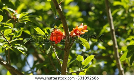 A small pomegrenate red flower on a tree branch