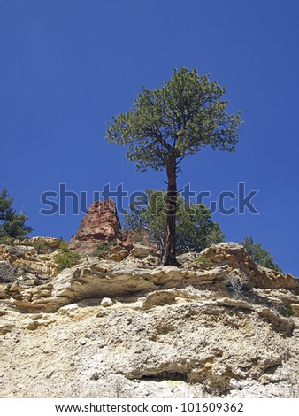 A small ponderosa pine in a sandstone canyon.