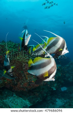 A small school of longfin bannerfish in clear blue water