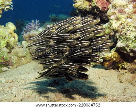A small school of striped eel catfish  - stock photo