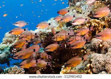 A small shoal of orange Cardinalfish on a tropical coral reef - stock photo