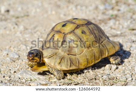 A small Southern Cape Tortoise walks across a gravel patch
