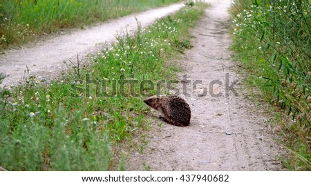 A small spiny hedgehog creeps along the trail village Ukraine - stock photo